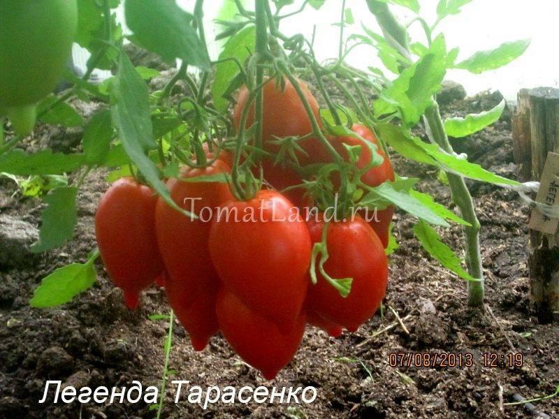 Томат «юбилейный тарасенко» – уже 30 лет дает богатый урожай