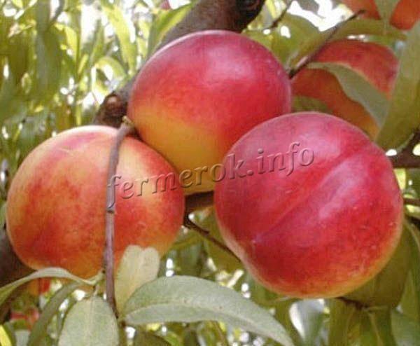 Что за фрукт нектарин — гибрид персика и чего-то еще, как его получить