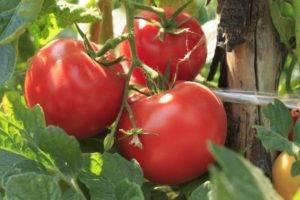 Томат генерал — описание сорта, отзывы, урожайность