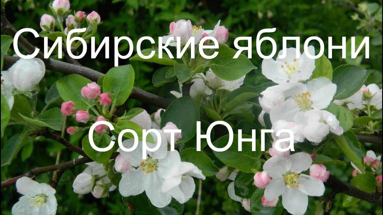 Яблоня-полукультурка «юнга» или «белоснежка»: описание, фото