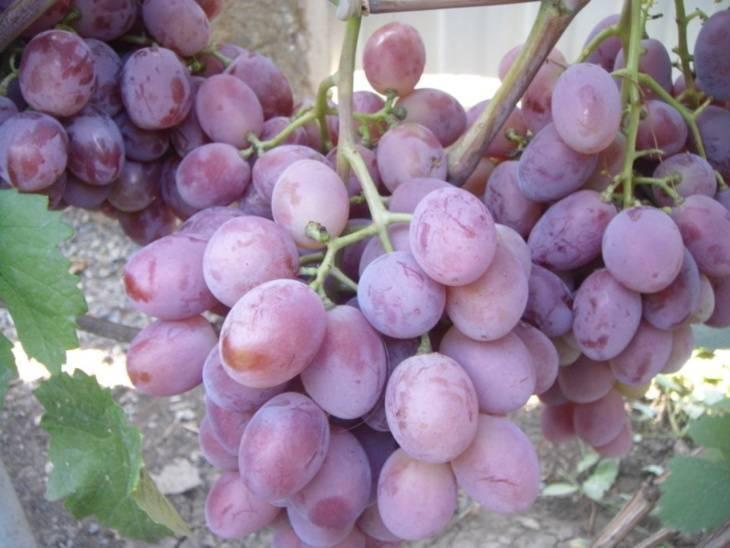 Виноград граф монте кристо описание сорта, отзывы