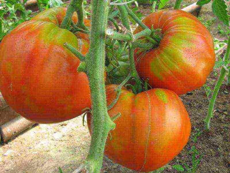 Томат нижегородский кудяблик — описание сорта, урожайность, фото и отзывы садоводов