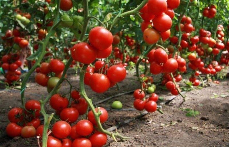 Таблицы характеристик сортов томатов