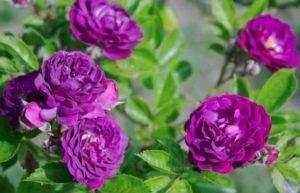 Самые лучшие сорта зимостойких и морозоустойчивых роз с фото
