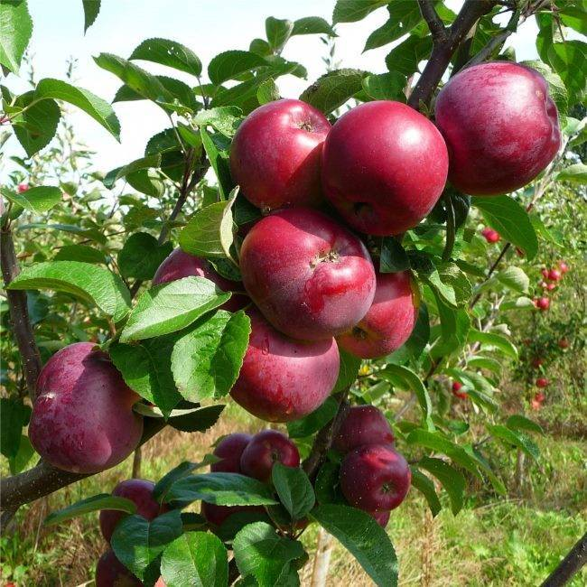 Яблоня «спартан»: описание сорта, фото, посадка и уход, отзывы