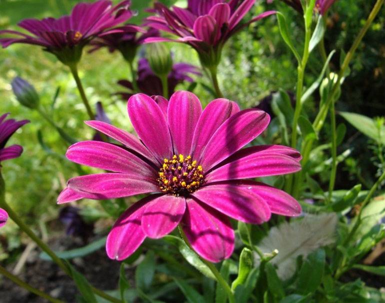 Остеоспермум: выращивание, уход в домашних условиях и фото