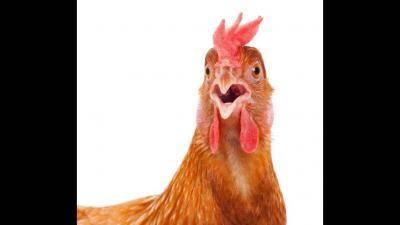Почему куры несут двухжелтковые яйца