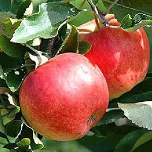 Красивые и вкусные яблоки подарит сорт экранный