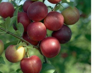 Описание лучших сортов и гибридов сливы для Подмосковья, посадка и выращивание