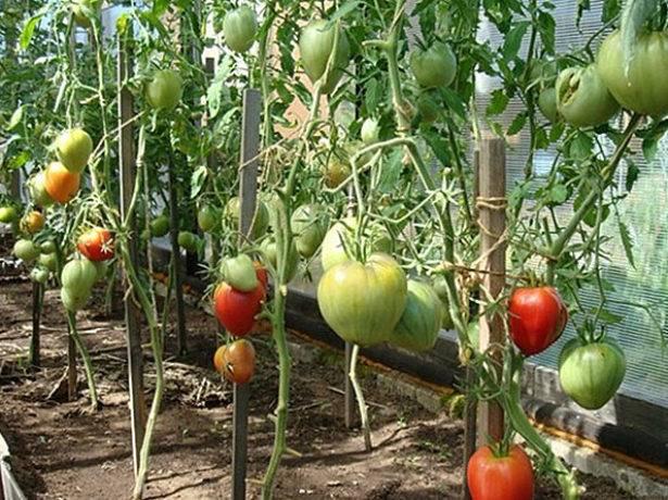 Сенсей — томат сибирской селекции с красивыми и крупными плодами
