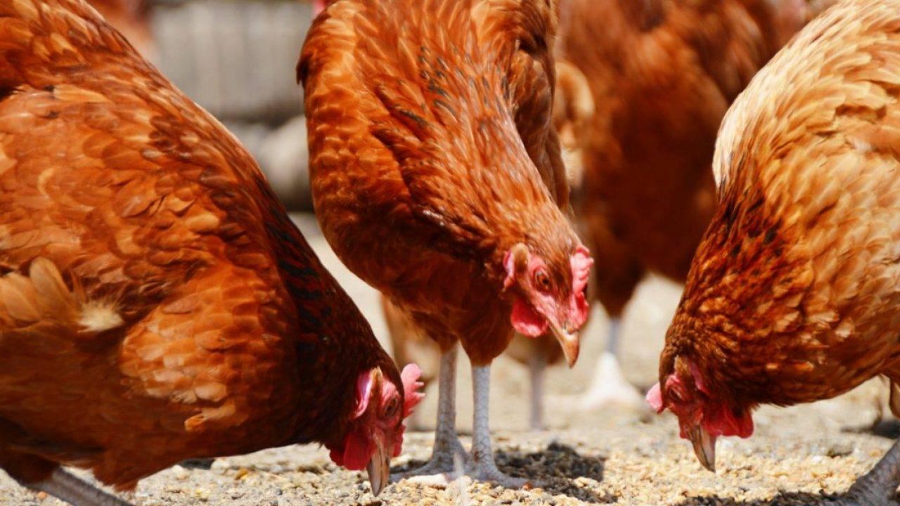 Хохлатые куры – необычные декоративные птицы с невысокой продуктивностью. украшают собой личные хозяйства и пользуются заслуженной популярностью