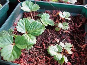 Как в домашних условиях вырастить клубнику из семян на рассаду