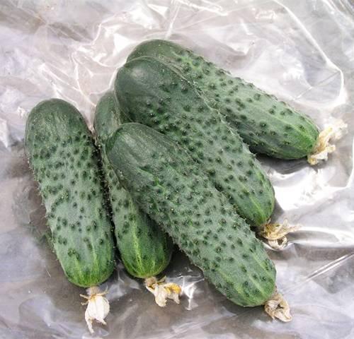 Пучковые огурцы: сорта, как вырастить и ухаживать