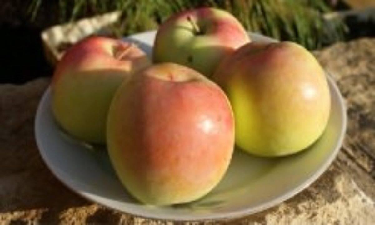 Яблоня курнаковское: описание сорта, правила выращивания