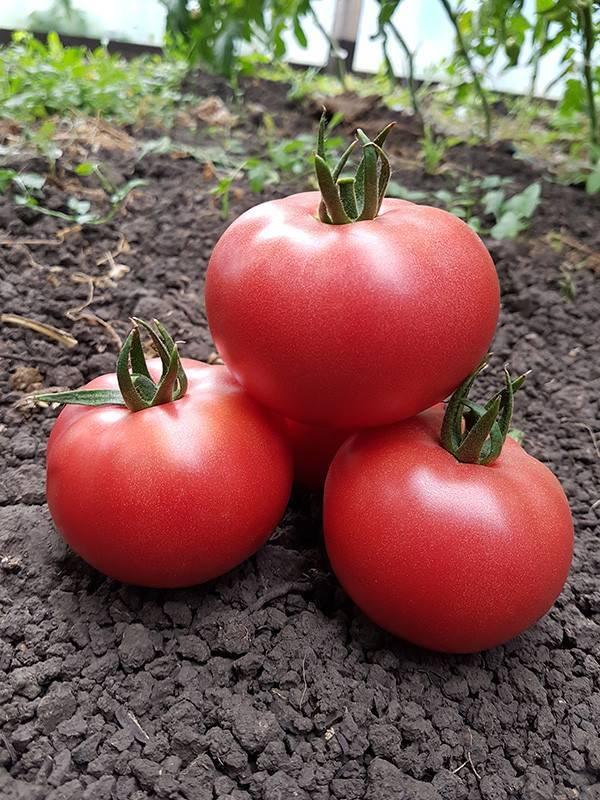 Сорт томата «микадо розовый»: описание, характеристика, посев на рассаду, подкормка, урожайность, фото, видео и самые распространенные болезни томатов