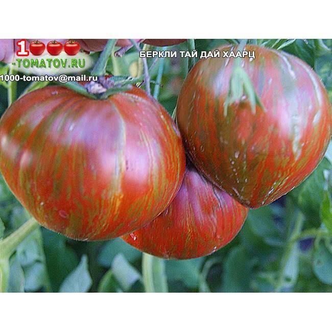 Томат сердце беркли в стиле тай-дай: фото и описание, выращивание, отзывы