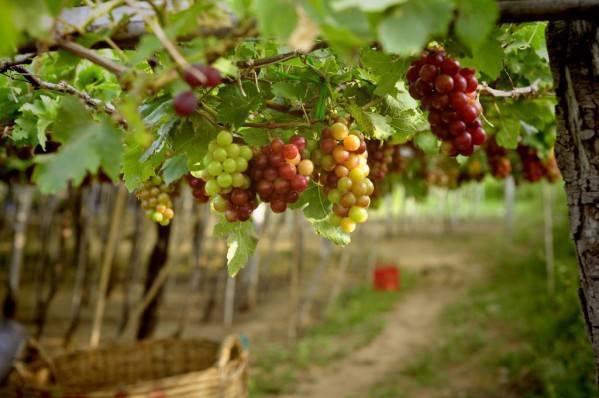 Как правильно сажать виноград весной
