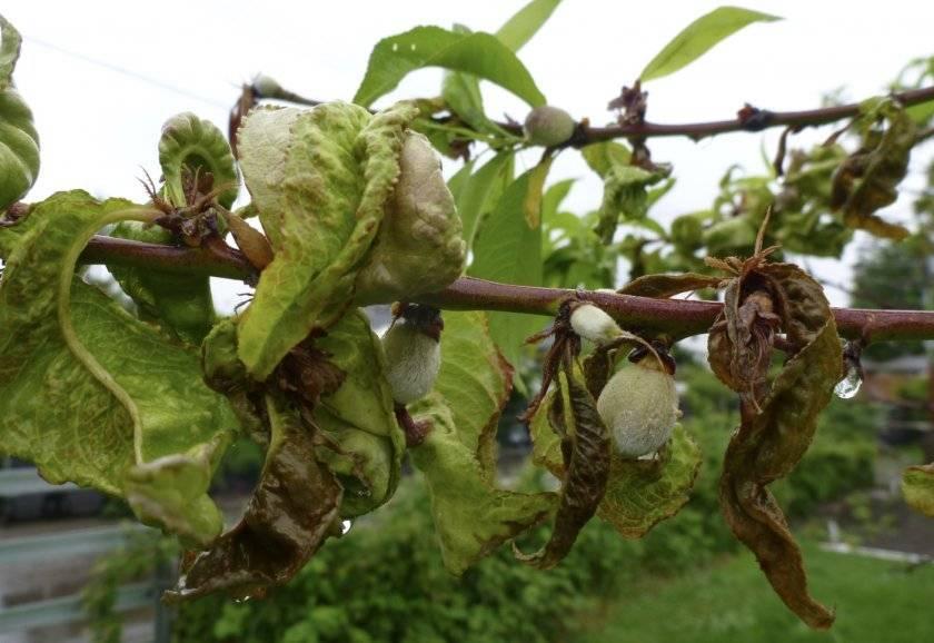 Курчавость листьев персика: меры борьбы, способы профилактики и лечения