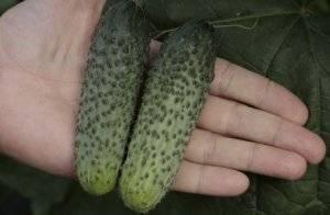 Огурец паратунка f1: отличный урожай в любой сезон