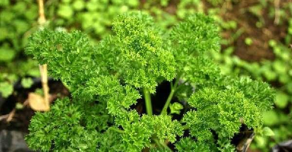 Посадка и выращивание петрушки в открытом грунте весной