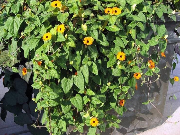Тунбергия – выращивание из семян рассадой