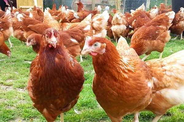 Любимцы отечественных фермеров — куры породы адлерская серебристая