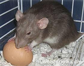 Как и чем бороться с крысами в курятнике, лучшие средства и методы борьбы