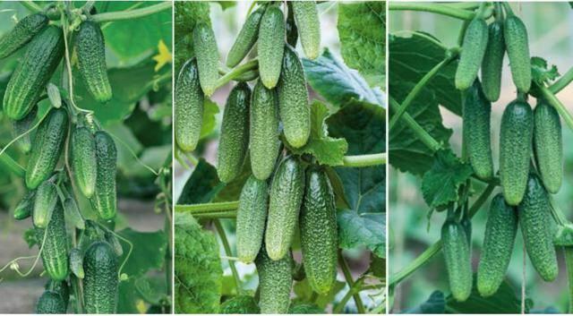 Описание сорта огурцов Будь здоров, его характеристика и выращивание