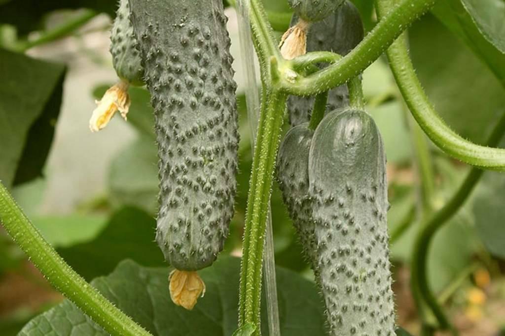 Огурец седрик f1: описание и характеристика сорта, урожайность с фото
