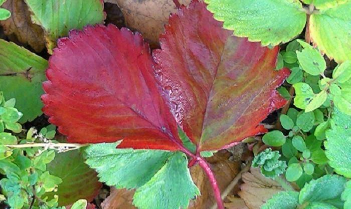 Почему желтеют листья у малины