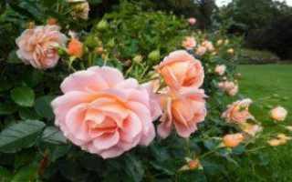 Подробное описание плетистого сорта роз розариум ютерсен