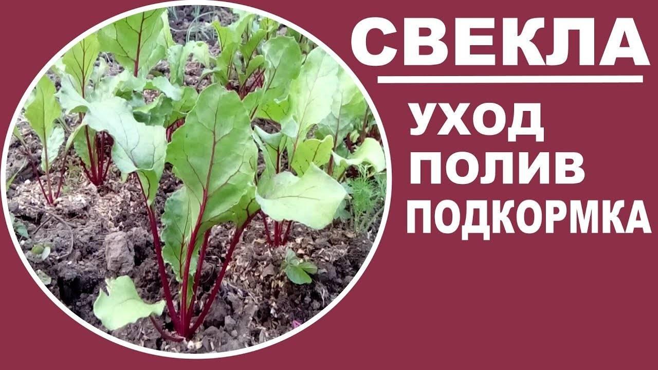 Особенности посадки свеклы семенами и правильный уход за ней в открытом грунте