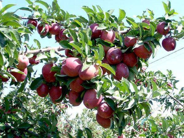 Высокоурожайная летняя яблоня ред фри
