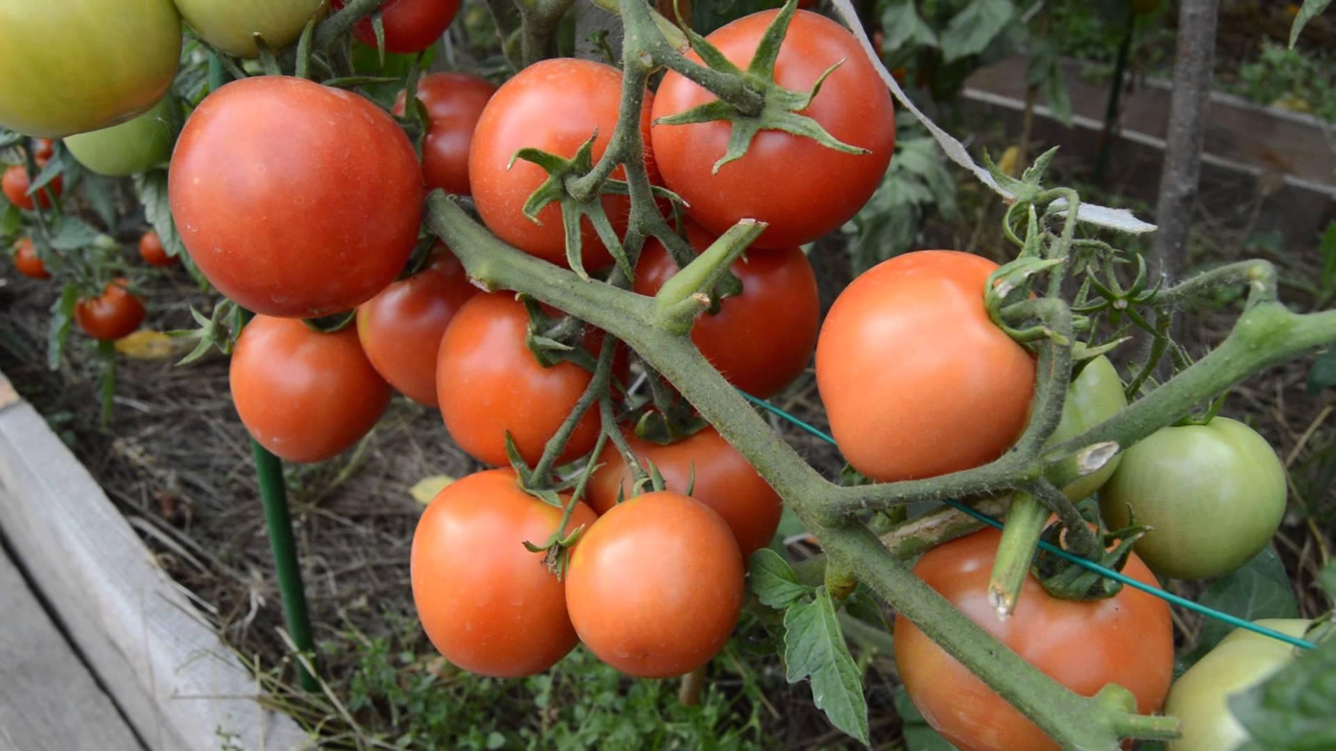 Описание сорта томата мохнатый шмель, особенности выращивания и ухода