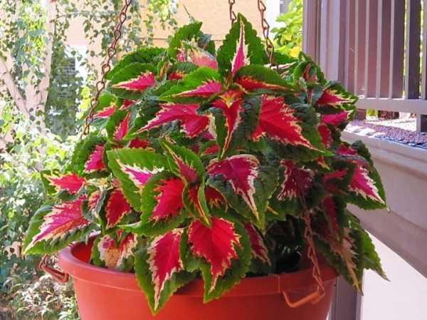 Растение колеус: описание и уход в домашних условиях