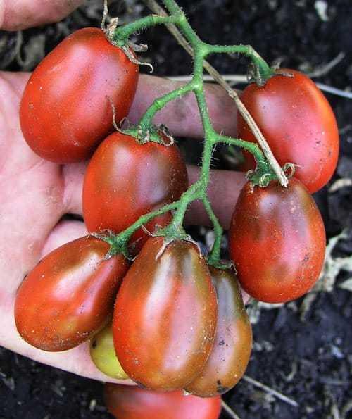Лучшие сорта помидоров черри и рекомендации по выращиванию