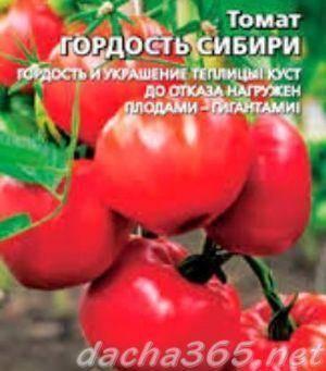 Томат гордость сибири: отзывы + фото