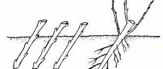 Правильное черенкование малины весной и осенью