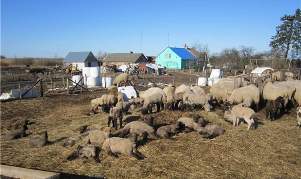 Какие бывают болезни у овец? симптомы и лечение
