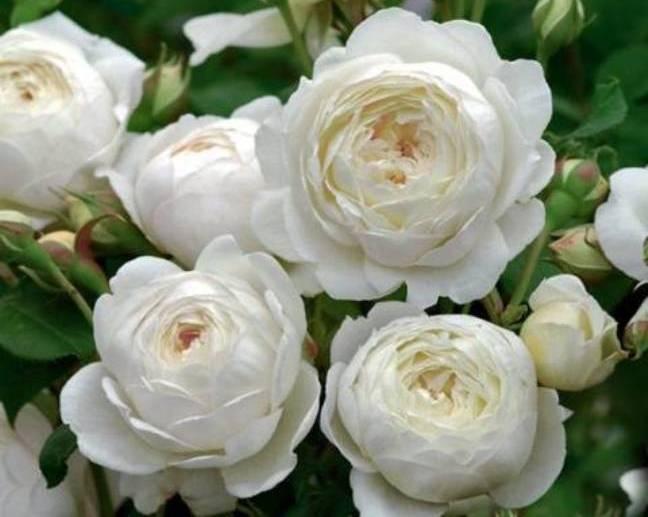 Описание и характеристики роз сорта Клэр Остин, технология выращивания