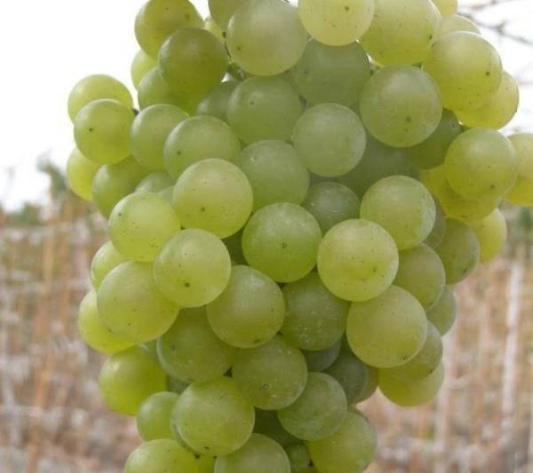 Описание сорта и характеристики винограда сорта цитронный магарача, выращивание