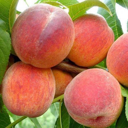 Сортовые особенности персиков золотой юбилей