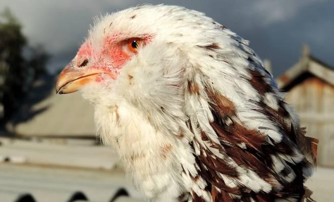 Описание породы кур орловская: характеристики, условия содержания и отзывы