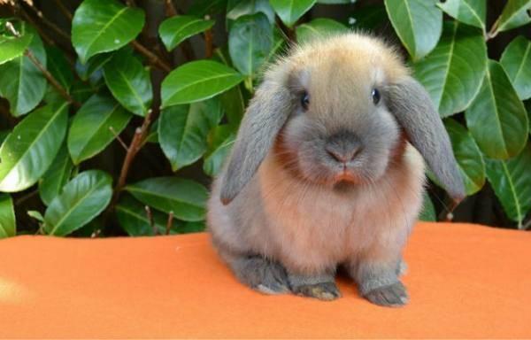 Особенности кроликов породы карликовый баран