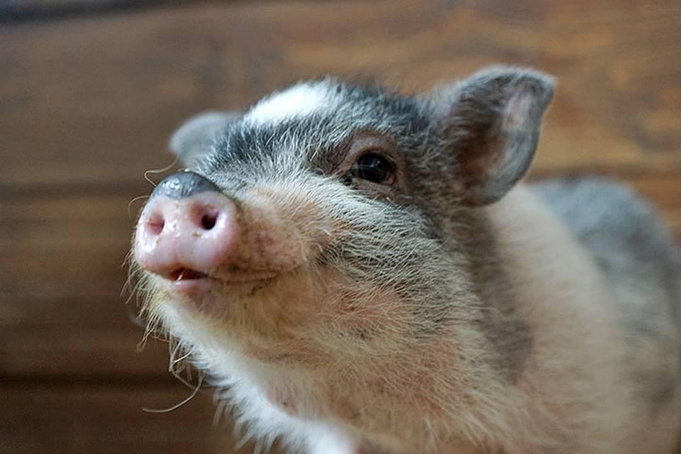 Продолжительность жизни домашних свиней