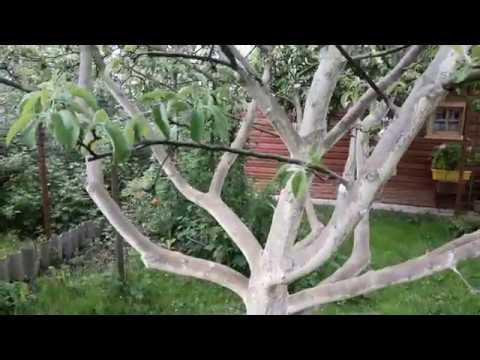 Ловчий пояс для деревьев (клеевой, масляный, отпугивающий) от муравьев – как правильно сделать?