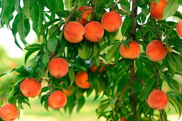 Лучшие сорта персика для подмосковья самоплодные низкорослые