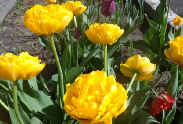 Посадка тюльпанов и грамотный уход за ними