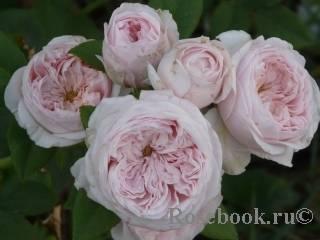 Описание розы клэр остин, особенности посадки и ухода