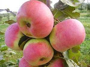 Яблоня ауксис: разбираемся во всех нюансах